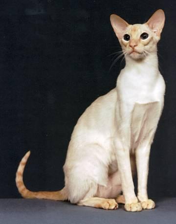 แมววิเชียรมาศ farmthaionline.com