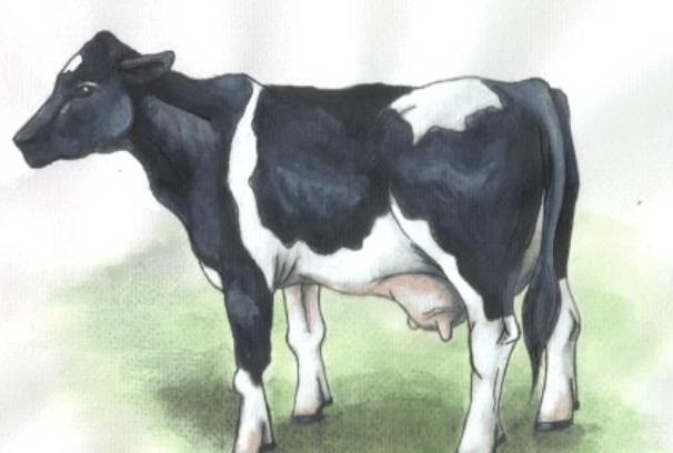 พันธุ์โฮลสไตน์ฟรีเชี่ยน (Holstein Friesian)